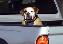 Dog in a ute tray